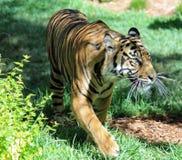 Anpirschender Tiger stockfoto