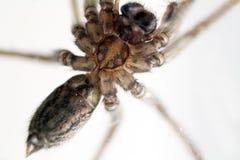 Anpirschendes Opfer der inländischen Spinne Lizenzfreie Stockfotos