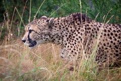 Anpirschendes Opfer des Geparden Stockfotografie