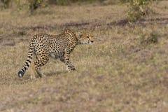 Anpirschendes Opfer des Geparden Lizenzfreies Stockbild