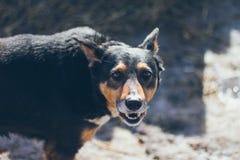 Anportrait d'un vieux portrait de chien de berger allemand dans le village Images libres de droits