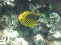 Anralfish red sea egypt africa Royalty Free Stock Photography