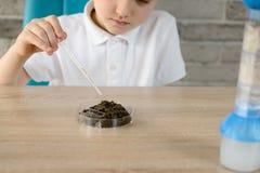 6 ans de garçon avec une pipette examine un échantillon de sol Photographie stock