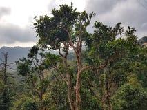400 ans de thé de province de Phongsali, Laos Photographie stock