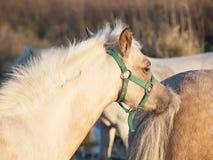 Ansa fölet för welsh ponny solig afton Fotografering för Bildbyråer