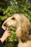 ansa för hund Royaltyfria Bilder