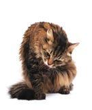 ansa för katt Arkivfoton