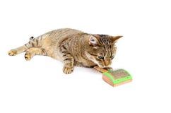 Ansa för kattsjälv Royaltyfri Fotografi