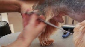 Ansa för Yorkshire terrier lager videofilmer