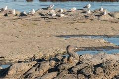 Ansa hägret och seagulls Royaltyfria Bilder