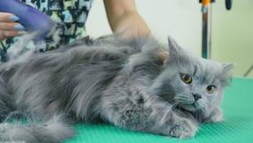 Ansa husdjur Brittisk longhair grå katt med gula ögon stock video