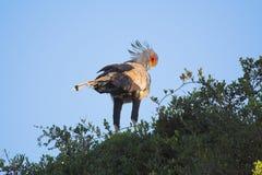 ansa sekreterare för fågel Royaltyfria Bilder