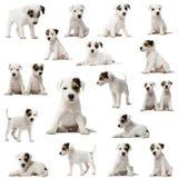 Ansammlung Pastorrussell-Terrierwelpen lizenzfreies stockbild