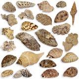 Ansammlung Seashell Lizenzfreies Stockfoto