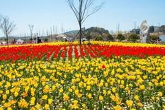ANSAN KOREA, KWIECIEŃ, - 25: Daebudo tulipanów festiwal Obraz Stock