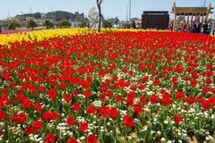 ANSAN KOREA, KWIECIEŃ, - 25: Daebudo tulipanów festiwal Obraz Royalty Free