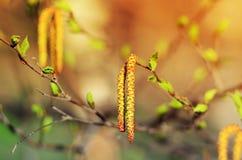 Ansarón del abedul en cierre de la primavera para arriba Fotografía de archivo libre de regalías