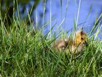 Ansarón del bebé que oculta en la hierba alta Imagen de archivo libre de regalías