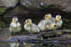 Ansarones canadienses de los gansos Fotografía de archivo