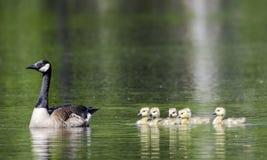 Ansarones de la madre y del bebé del ganso de Canadá, Walton County, GA Fotografía de archivo libre de regalías