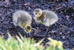 Ansarones de los gansos de Canadá en el lago del agua dulce Fotos de archivo