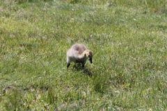 Ansarones (gansos de Canadá) Fotografía de archivo libre de regalías