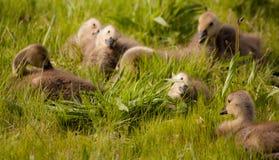 Ansarones que se sientan en hierba con las cabezas inclinadas foto de archivo libre de regalías
