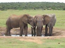 Anseende för afrikansk elefant på en waterhole i Addo National Park Arkivbilder