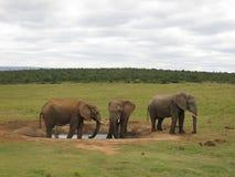 Anseende för afrikansk elefant på en waterhole i Addo National Park Arkivfoto
