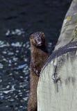 Anseende för amerikansk mink vid en träbro Arkivbilder