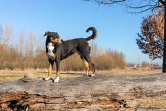 Anseende för Appenzeller avelhund på en trädstam och se framåtriktat royaltyfri bild