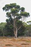 Anseende för eukalyptusträd i Serendipityfristaden, Lara, Victoria, Australien arkivfoton