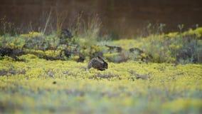 Anseende för europeisk hare i gräset och washesna lager videofilmer