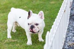 Anseende för fransk bulldogg på trädgården Arkivfoto
