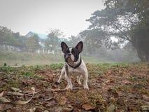Anseende för fransk bulldogg under dimman i vinter Arkivfoton