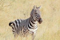 Anseende för gemensam sebra i savannah Royaltyfri Fotografi