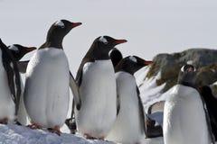 Anseende för Gentoo pingvingrupp i snön Royaltyfri Bild