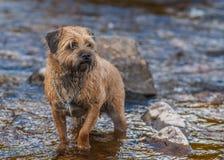 Anseende för gränsTerrier hund i en ström Royaltyfri Foto