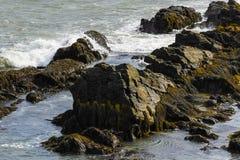 Anseende för havsfiskmås på Rocky Coast av Rhode - ö Arkivfoto