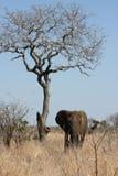 Anseende för lånelefanttjur nära ett torrt träd royaltyfri fotografi