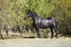 Nice svart häst i bevattna Arkivbilder