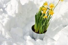 Anseende för påsklilja i snön royaltyfri foto