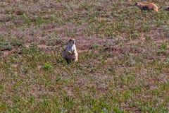 Anseende för präriehund i kort gräs Fotografering för Bildbyråer