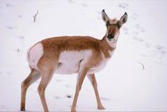 Anseende för Pronghorn antilop på snö Royaltyfri Bild