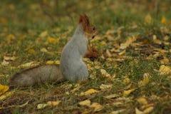 Anseende för röd ekorre i gräs Arkivbild