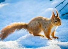 Anseende för röd ekorre i snö Royaltyfri Bild