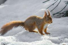 Anseende för röd ekorre på snö Royaltyfri Foto