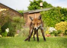 Anseende för röd räv i trädgården med blommor Royaltyfri Fotografi