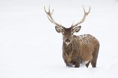 Anseende för röda hjortar i snö arkivbilder