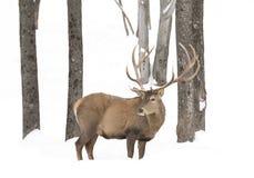 Anseende för röda hjortar i snön fotografering för bildbyråer
